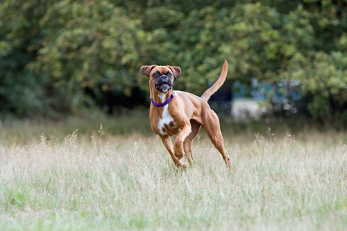 boxer-dog-1362609306pMk